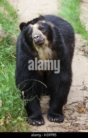 Spectacled bear (Tremarctos ornatus), also known as the Andean bear at Doue-la-Fontaine Zoo in Maine-et-Loire, France. - Stock Photo