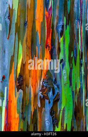 Close up of the bark of the Rainbow Eucalyptus tree in Hawaii. - Stock Photo
