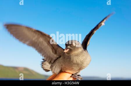Young Whiskered auklet в руках. Командорские острова - Stock Photo