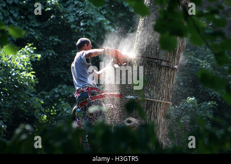 Logger with basic safety equipment cutting down large, tall tree - Stock Photo