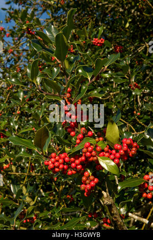 Ripe red holly berries on the tree in bright afternoon autumn sunshine, ready for Christmas or wild birds - Stock Photo