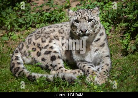 Snow leopard (Panthera uncia). Wildlife animal. - Stock Photo