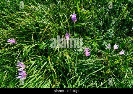 Maria-Anzbach: Herbstzeitlose (autumn crocus, meadow saffron, Colchicum autumnale), Wienerwald, Vienna Woods, Niederösterreich, - Stock Photo