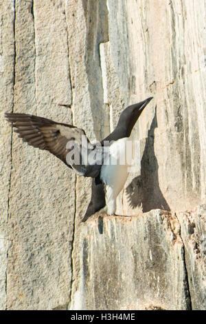 Brunnich's Guillemot, Uria lomvia Nesting at Alkefjellet - Stock Photo