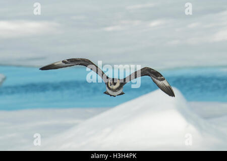 Pomarine Skua, Stercorarius pomarinus - Stock Photo
