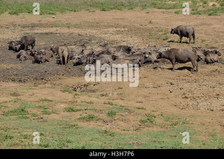 Herd of African buffalo or Cape buffalo wallowing in a mud hole of a dried up river in the Hluhluwe–iMfolozi Park - Stock Photo