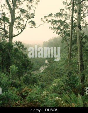 Forest of Karri (Eucalyptus diversicolor) - Stock Photo
