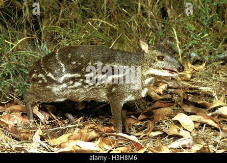 Indian spotted chevrotain (Moschiola indica) - Stock Photo