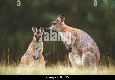Red-necked wallaby (Macropus rufogriseus banksianus) - Stock Photo