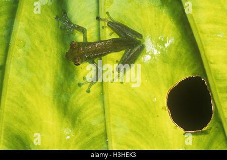 Jade tree frog (Rhacophorus dulitensis) - Stock Photo