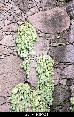 Donkey tail sedum morganianum or burros tail plant growing from crevices in a volcanic stona wall - Stock Photo