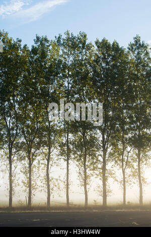 Morning light through trees in the clearing fog in autumn. UK - Stock Photo