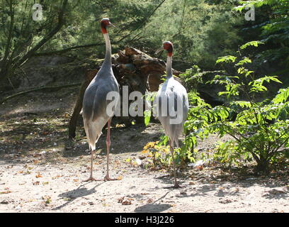 Male and female  Sarus Cranes (Grus antigone), tallest flying birds in the world - Stock Photo