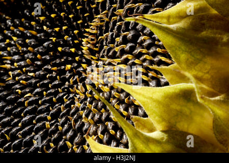 detail shot showing a sunflower head detail with lots of seeds