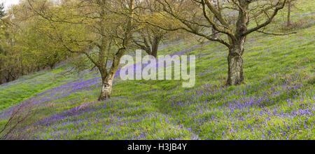 Wild English Bluebells are lit up by the early morning sunrise. - Stock Photo