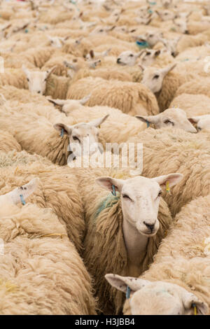 Sheep herded into a pen - Stock Photo