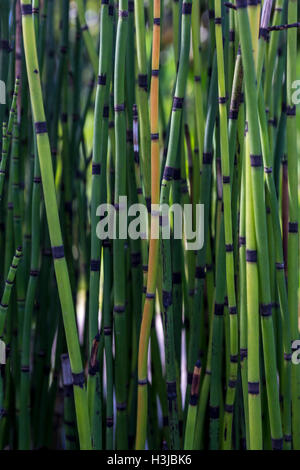 Horsetails, Frog's Leap Winery, Frogs Leap Winery, Frogs Leap, Rutherford, Napa Valley, Napa County, California