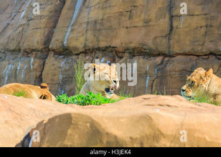 Lion in the beautiful West Midland Safari Park on APR 23, 2016 at Spring Grove, United Kingdom - Stock Photo