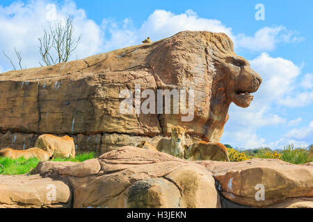 Spring Grove, APR 23: Lion in the beautiful West Midland Safari Park on APR 23, 2016 at Spring Grove, United Kingdom - Stock Photo