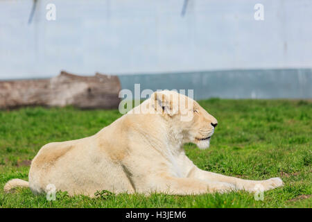 Spring Grove, APR 23: White Bengal Tiger in the beautiful West Midland Safari Park on APR 23, 2016 at Spring Grove, - Stock Photo