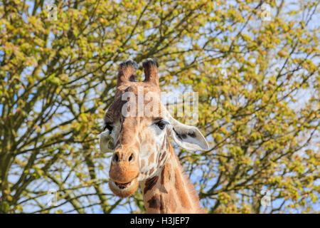 Giraffe walking in the beautiful West Midland Safari Park on APR 23, 2016 at Spring Grove, United Kingdom - Stock Photo