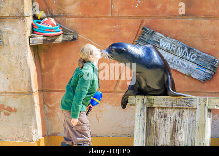 Spring Grove, APR 23: Sea lions in the beautiful West Midland Safari Park on APR 23, 2016 at Spring Grove, United - Stock Photo