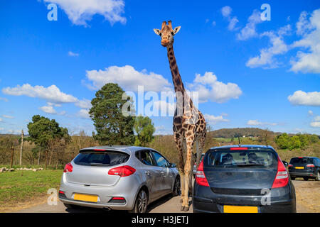 Spring Grove, APR 23: Giraffe walking in the beautiful West Midland Safari Park on APR 23, 2016 at Spring Grove, - Stock Photo