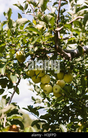 Green apples are photographed from below. - Stock Photo