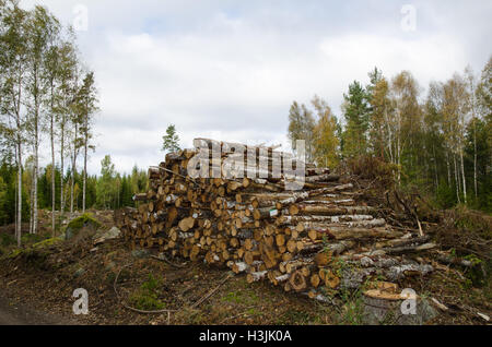 Birch tree logs in a woopile by autumn in a swedish forest - Stock Photo