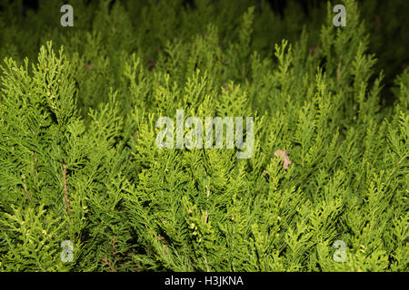 Green thuja tree branches close up details as background image. Green Hedge of Thuja Trees (cypress, juniper). Bush, - Stock Photo