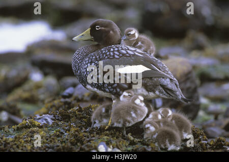 Falkland steamer duck (Tachyeres brachypterus) - Stock Photo