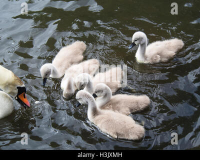 Mute swan with cygnets, close up, in Ostensjovannet nature reserve where over 200 bird species have been sighted, - Stock Photo