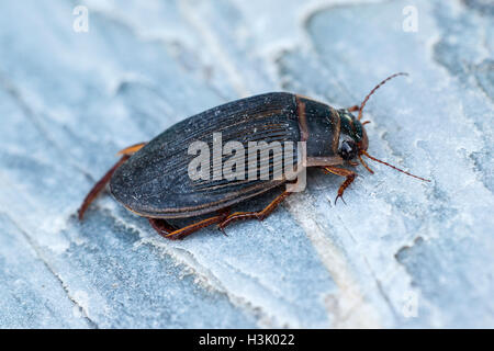 Great Diving Beetle Dytiscus marginalis adult on a rock - Stock Photo