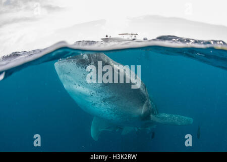 Whale shark (Rhincodon Typus) swimming near surface of water, Contoy Island, Mexico - Stock Photo