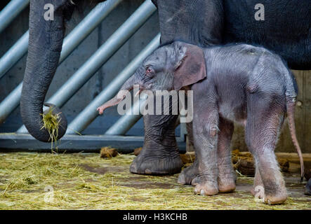 Prague, Czech Republic. 09th Oct, 2016. A male Indian elephant was born in the Prague zoo, as the third in its history - Stock Photo