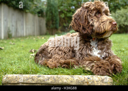 cockerpoo - Stock Photo