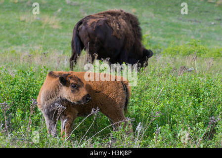 American Bison (Bison bison) calf with parent, Fort Custer State Park, S. Dakota USA - Stock Photo