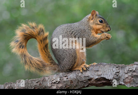 Eastern Fox Squirrel (Sciurus niger) eating nuts, Autumn, E North America - Stock Photo