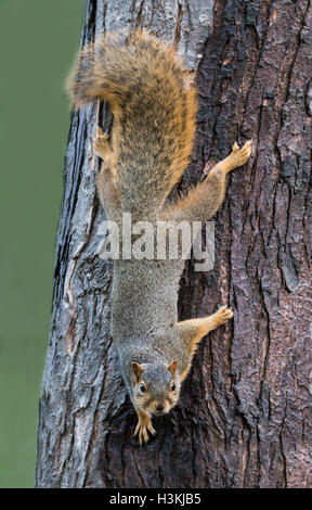 Eastern Fox Squirrel (Sciurus niger) climbing down tree trunk, Eastern USA - Stock Photo