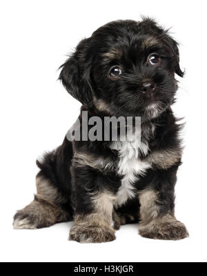 Cute sitting black and tan havanese puppy dog - Stock Photo