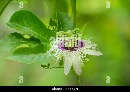 white passion fruit flower - Stock Photo