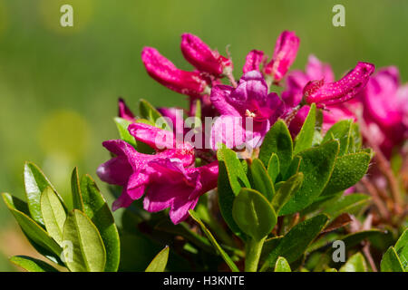 Alpenrose flowers closeup Rhododendron ferrugineum - Stock Photo