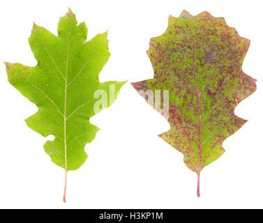 Set of autumn leaves maple isolated - Stock Photo