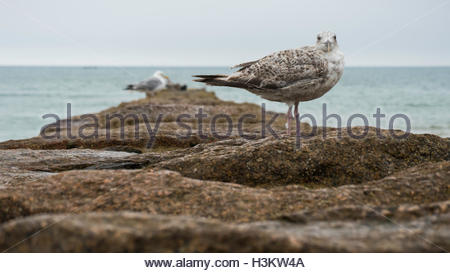Seagull standing on rocks stock image. A Seagull standing on a rock looking at the camera with the Sea in the background. - Stock Photo