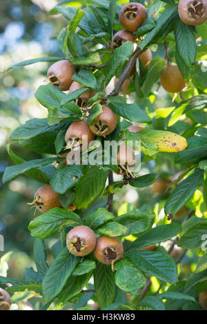 Mespilus germanica Iranian. Iranian Medlar fruit on the tree - Stock Photo