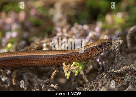 Close-up of female slow worm (Anguis fragilis) in heathland in Surrey, UK - Stock Photo