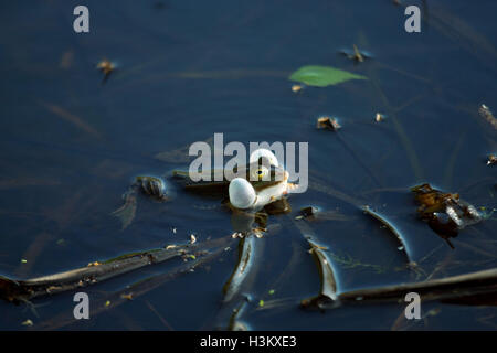 Croaking frog in a swamp - Stock Photo