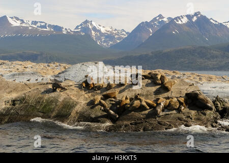 A group of Patagonian sea lions (Otaria flavescens) sunbathing in the middle of Beagle channel, Tierra del Fuego, - Stock Photo