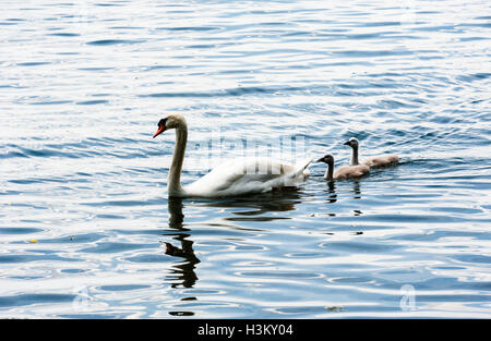 Family of mute swans on wavy water, with one adult leading two young cygnets. - Stock Photo