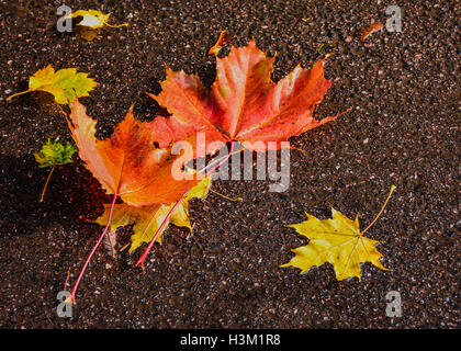 maple leaves on the pavement after rain. - Stock Photo